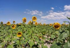 兰州新区万亩向日葵绽放夏日芳华,快来打卡!